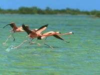Взлёт фламинго с моря