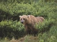 Коричневый медведь в зелёных зарослях