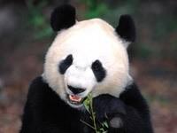 Панда  кушает ветки