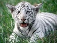 Маленький белый тигрёнок