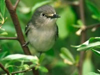 Серая птичка в зеленых ветках