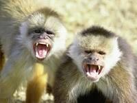 Две кричащие мартышки