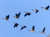 Полет клина птиц