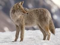 Серый волк на снегу