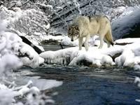 Серый волк у воды зимой