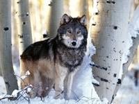 Волк у заснеженных деревьев