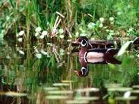 Разноцветная утка в озере