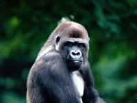Серьезная обезьяна