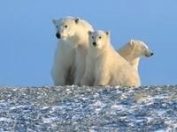Трое белых медведей