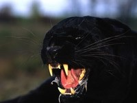 Злая пантера