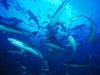 Стая акул в воде