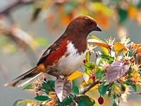Коричнево-белая птичка на цветущей ветке