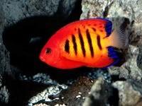Красно-желто-синяя рыбка