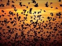 Стаи летящих  птиц на закате