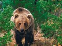 Коричневый медведь в елочном лесу