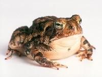 Коричневая жаба