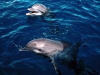 Два дельфина в океане