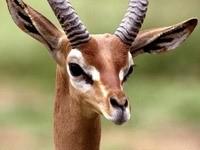 Морда антилопы