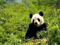 Панда кушает  листья в лесу