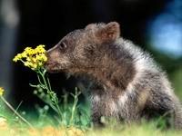Медвежонок нюхает цветок