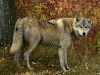Волк возле дерева