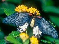 Сине-белая бабочка на желтом цветке