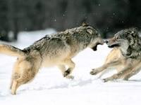 Бой волков на снегу