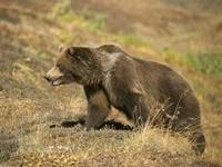 Медведь в степи