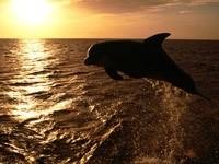 Дельфин в прыжке над океаном