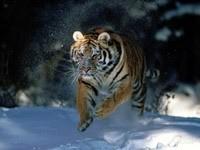 Бег  тигра по зимнему лесу