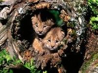 Двое тигрят в дупле дерева