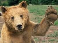 Медвежонок приветствует