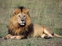 Лев лежит на земле