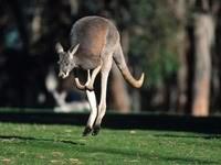 Кенгуру в прыжке