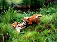Двое лисят играются в траве