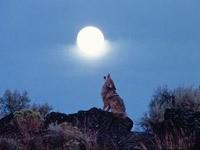 Волк на камне воет на луну