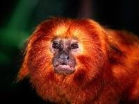 Оранжево-желтая мартышка