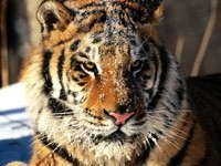 Тигр,  притрушенный снегом