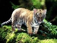 Маленький тигренок в лесу