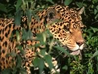 Морда ягуара в листьях