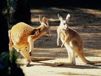 Два кенгуренка