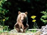 Выглядывающий медвежонок