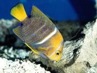 Желто-синяя рыбка на дне