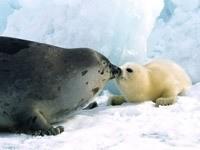 Морской котик с малышом в снегу