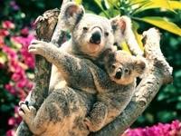 Коала с малышом на ветвях