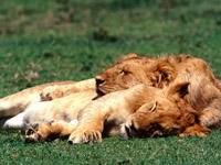 Сон пары львов на траве