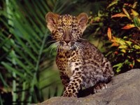 Малыш ягуара на камнях