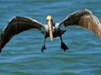 Пеликан над водой