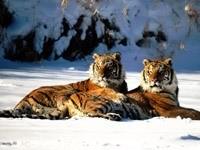 Пара тигров в снегу