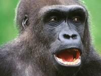 Морда гориллы